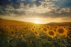 Campo de girasoles florecientes en una puesta del sol del fondo Fotografía de archivo