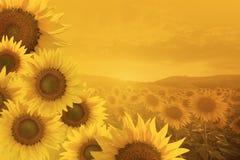 Campo de girasoles florecientes en una puesta del sol del fondo Imagenes de archivo