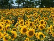 Campo de girassóis amarelos Fotos de Stock
