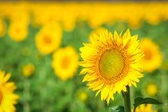 Campo de girassóis amarelos Fotografia de Stock Royalty Free