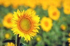 Campo de girassóis amarelos Fotos de Stock Royalty Free