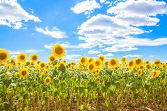 Campo de girassóis das flores e do céu azul Prado dos girassóis Fotos de Stock Royalty Free