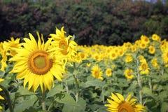 Campo de girassóis de florescência fotografia de stock
