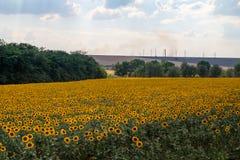 Campo de girassóis de florescência contra um céu azul Fotografia de Stock Royalty Free
