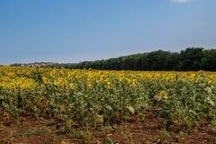 Campo de girassóis de florescência contra um céu azul Fotografia de Stock