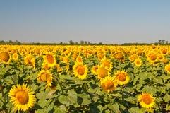 Campo de girassóis de florescência em um por do sol do fundo, Imagens de Stock