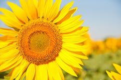 Campo de girassóis de florescência em um por do sol do fundo, Fotografia de Stock