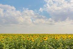 Campo de girassóis de florescência no fundo do céu Imagem de Stock Royalty Free