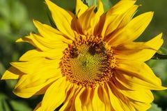 Campo de girassóis de florescência fotos de stock royalty free