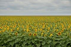 Campo de girassóis de florescência sob o céu nebuloso com nuvens Imagens de Stock Royalty Free