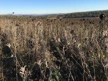 Campo de girassóis secos no dia de inverno ensolarado no parque natural Eifel, Alemanha imagens de stock royalty free