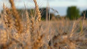 Campo de grão do por do sol Foto de Stock Royalty Free
