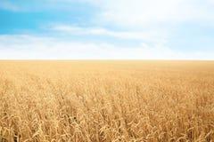 Campo de grão do trigo no dia ensolarado foto de stock royalty free