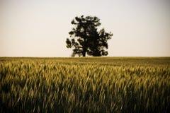 Campo de grão/prado Foto de Stock Royalty Free