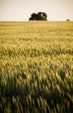 Campo de grão/prado Imagens de Stock Royalty Free