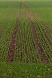 Campo de grão verde Imagens de Stock Royalty Free