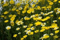 Campo de grama com as flores amarelas agradáveis Imagem de Stock