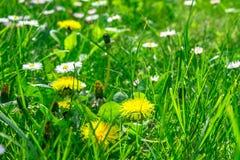Campo de grama completamente das ervas e de flores selvagens imagem de stock