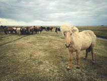 Campo de grama dos animais dos cavalos Fotos de Stock