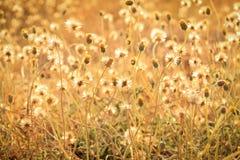 Campo de grama dos procumbens de Tridax fotografia de stock royalty free