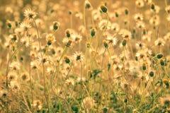 Campo de grama dos procumbens de Tridax imagem de stock