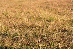 Campo de grama seca dourado focalizado no primeiro plano Imagem de Stock Royalty Free