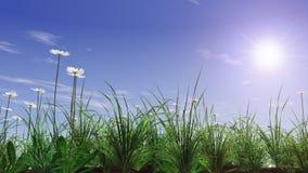 Campo de grama verde com camomila Fotografia de Stock Royalty Free