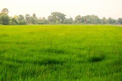 Campo de grama verde com luz brilhante do por do sol em um rural de Tailândia Fotos de Stock Royalty Free