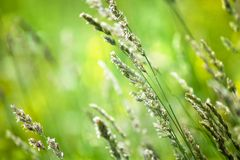 Campo de grama verde fresco no fundo borrado do bokeh perto acima, orelhas no macro macio do foco do prado, gramado bonito do ver imagens de stock royalty free