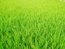 Campo de grama verde natural Imagens de Stock Royalty Free