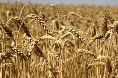 Campo de granja amarillo Imagenes de archivo