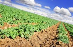 Campo de granja de la patata con el cielo y las nubes fotos de archivo libres de regalías