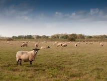 Campo de granja hermoso con las ovejas que pastan el día de verano de la hierba uno Foto de archivo libre de regalías