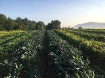 Campo de granja orgánico de la col rizada y del cardo Fotografía de archivo