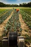 Campo de granja orgánico de la irrigación Imagen de archivo libre de regalías