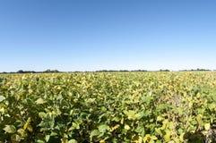 Campo de granja de sojas Imágenes de archivo libres de regalías