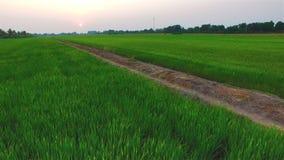Campo de granja verde del arroz con el sol en el tiempo crepuscular en Tailandia; 4K 30fps, inclinación de la antena encima de la metrajes