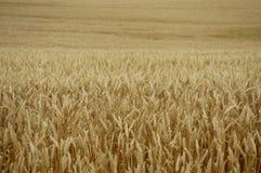 Campo de grano Fotografía de archivo libre de regalías