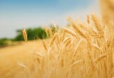 Campo de grano Imágenes de archivo libres de regalías