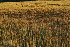 Campo de grano Foto de archivo libre de regalías
