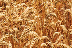 Campo de grano Fotografía de archivo