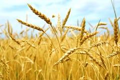Campo de grano Fotos de archivo