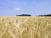 Campo de grano 4 Imagenes de archivo