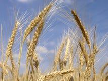 Campo de grano 6 Imagen de archivo