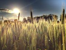 Campo de grano Foto de archivo