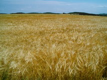 Campo de grano Imagen de archivo libre de regalías