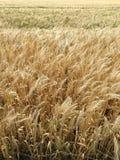 Campo de grano antes de la cosecha Fotografía de archivo libre de regalías