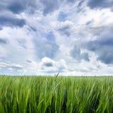 Campo de grano con cierre del cielo nublado para arriba Fotos de archivo libres de regalías