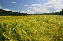 Campo de grano con las amapolas Foto de archivo libre de regalías