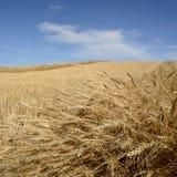 Campo de grano cosechado fotografía de archivo